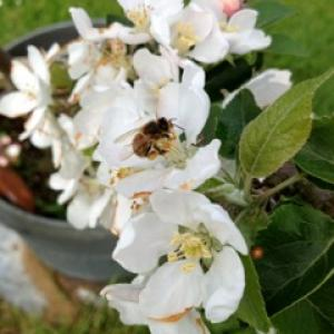 Bee on apple blossom, Spring 2013 (from Penny)