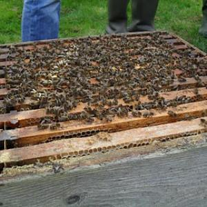 Frames of bees in a 'national' hive