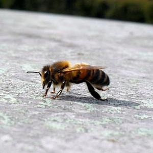 Bee on a hot tin roof