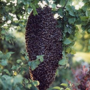 A swarm of bees.